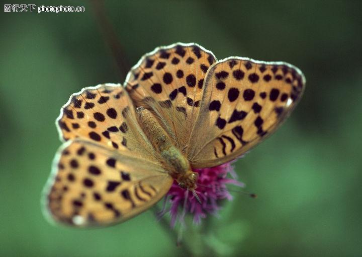花草世界0159 花草世界图 自然风景图库 花蝴蝶 蝴蝶与菊花 花草