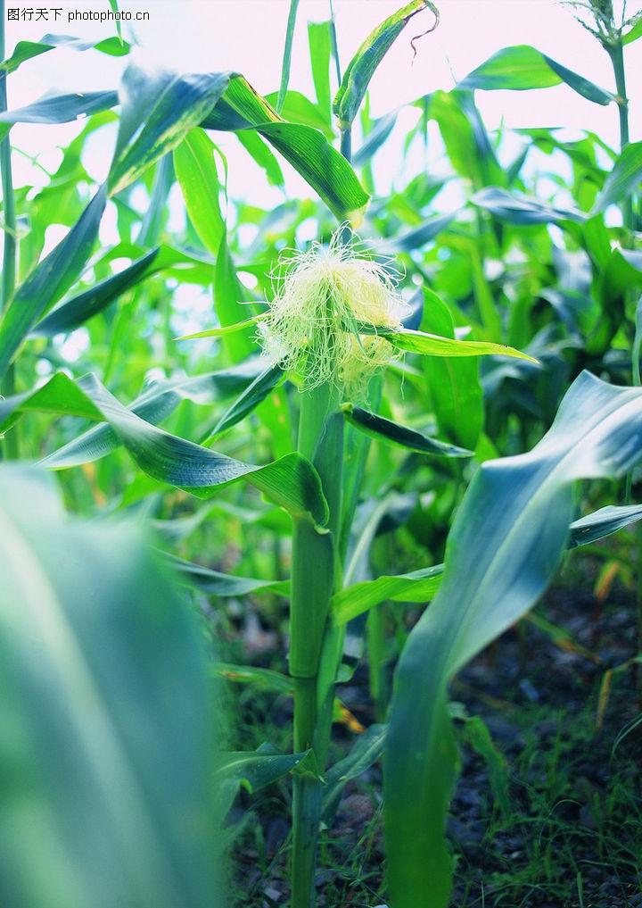 田园风光 农业 玉米 苞谷 成长