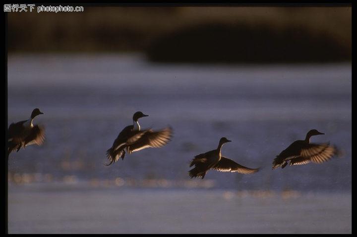 昆明海鸥_鸟的世界0132-动物图-动物图库-南飞 齐习翔 组织 团队 起飞的过程
