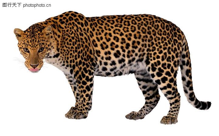 凶猛动物,动物,美洲豹 侧面 花纹 皮肤 怒目,凶猛动物0004