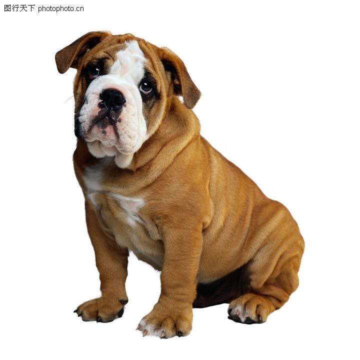 宠物之狗,动物,狗皮 皱褶 肥胖,宠物之狗0079
