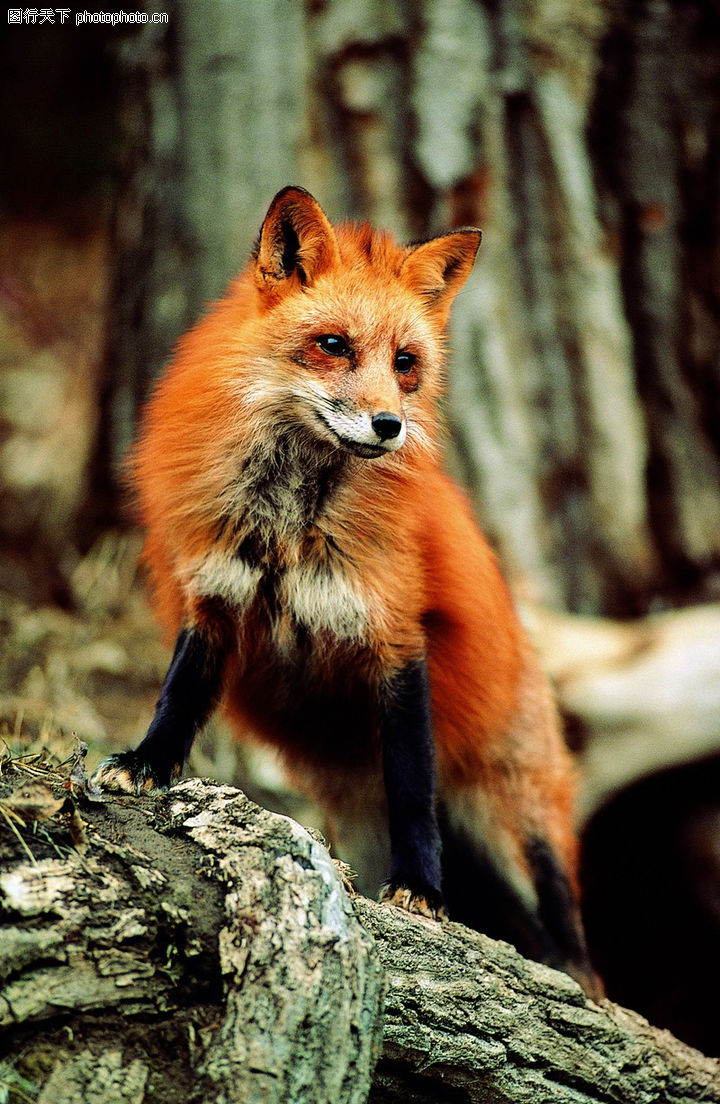 宠物之狗,动物,枯木头 火狐 黑腿,宠物之狗0179