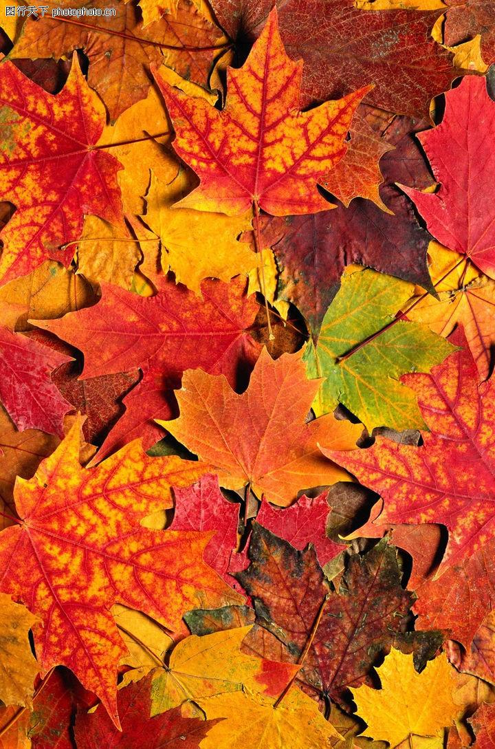 茂盛叶子,自然风景,梧桐 叶落 秋天,茂盛叶子0070