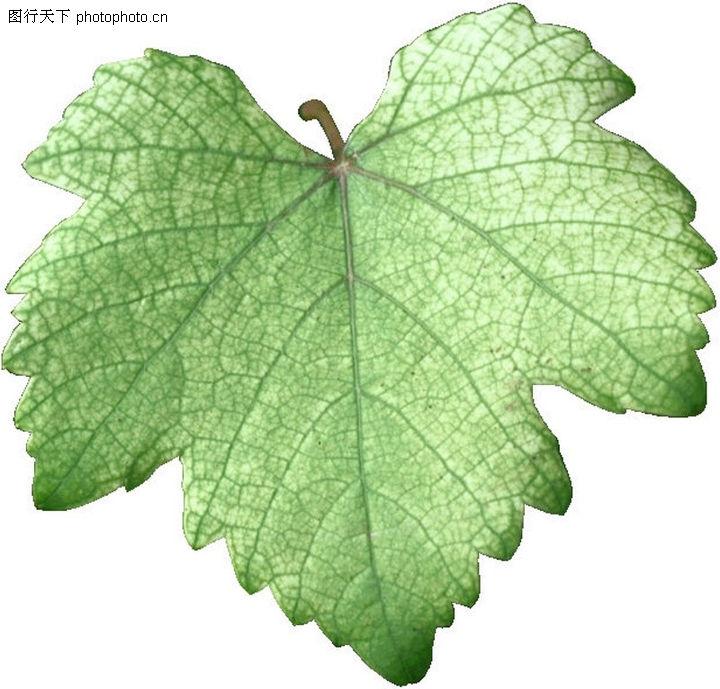 茂盛叶子 自然风景 绿色叶子 叶子标本 经络图片