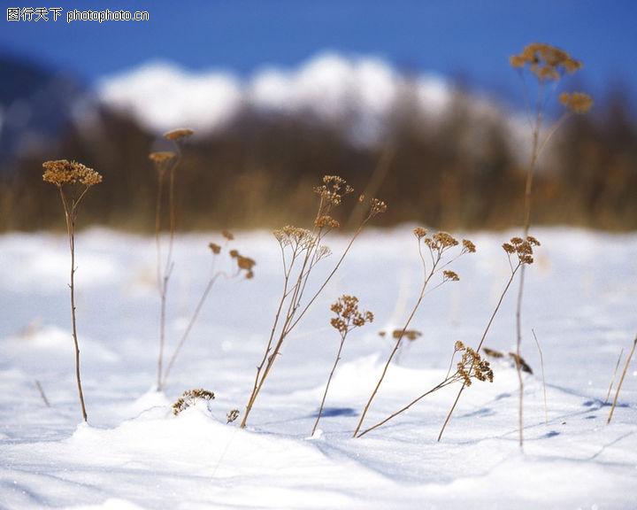 冬天雪景,自然风景,枯黄小草,冬天雪景0042