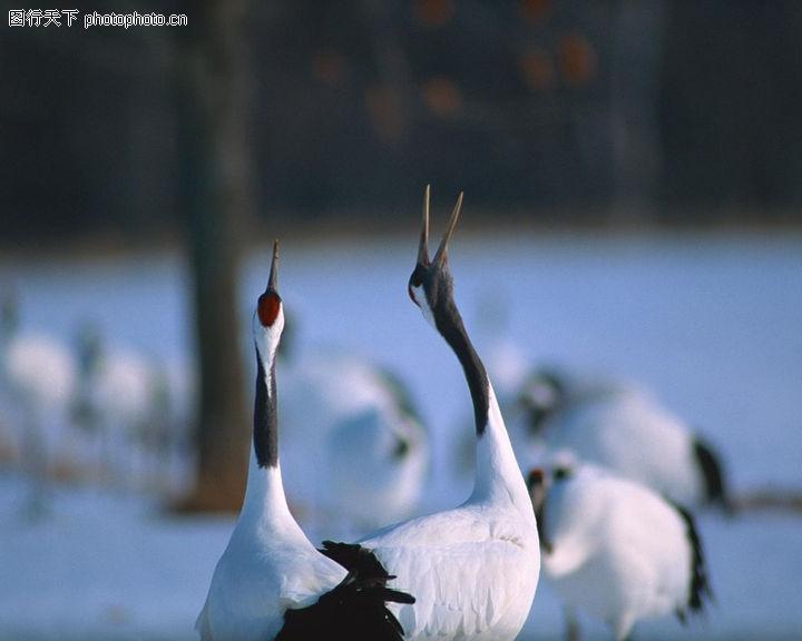 冬天雪景,自然风景,鸣叫 仙鹤 呼唤,冬天雪景0204
