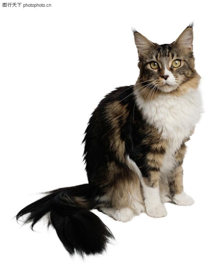 可爱之猫,动物,可爱 小猫 尾巴,可爱之猫0111