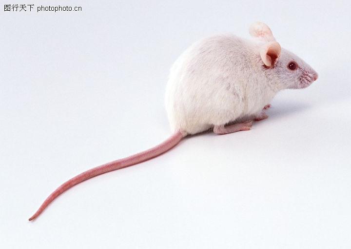 动物,老鼠 白色 尾巴