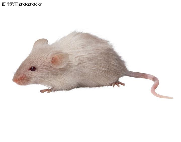 兔鼠0056-兔鼠图-动物图库-白鼠 白色 种类