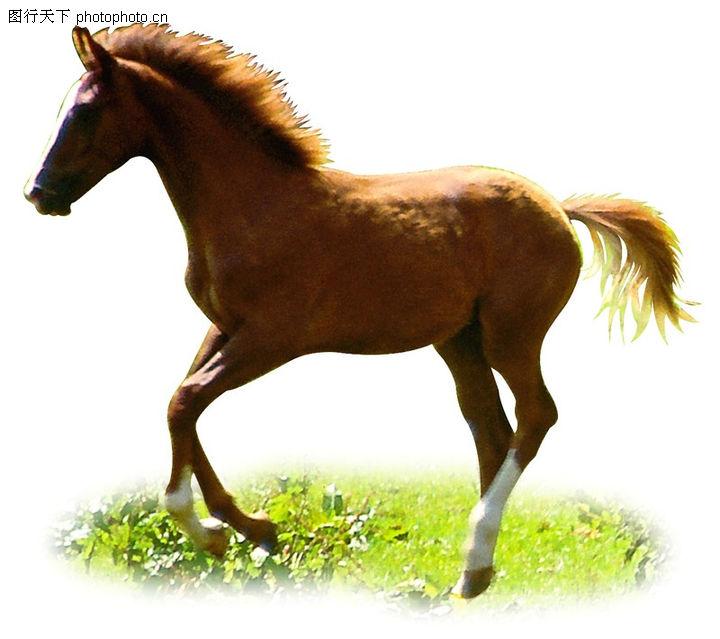 上传图片图标_马0013-动物图-动物图库-草地 俊马 跃进