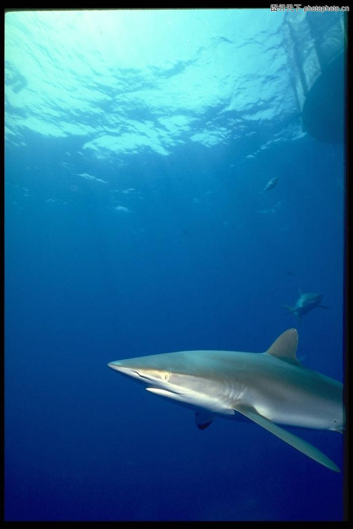 海底世界,动物,深海 鲸鱼 白鲸,海底世界0191