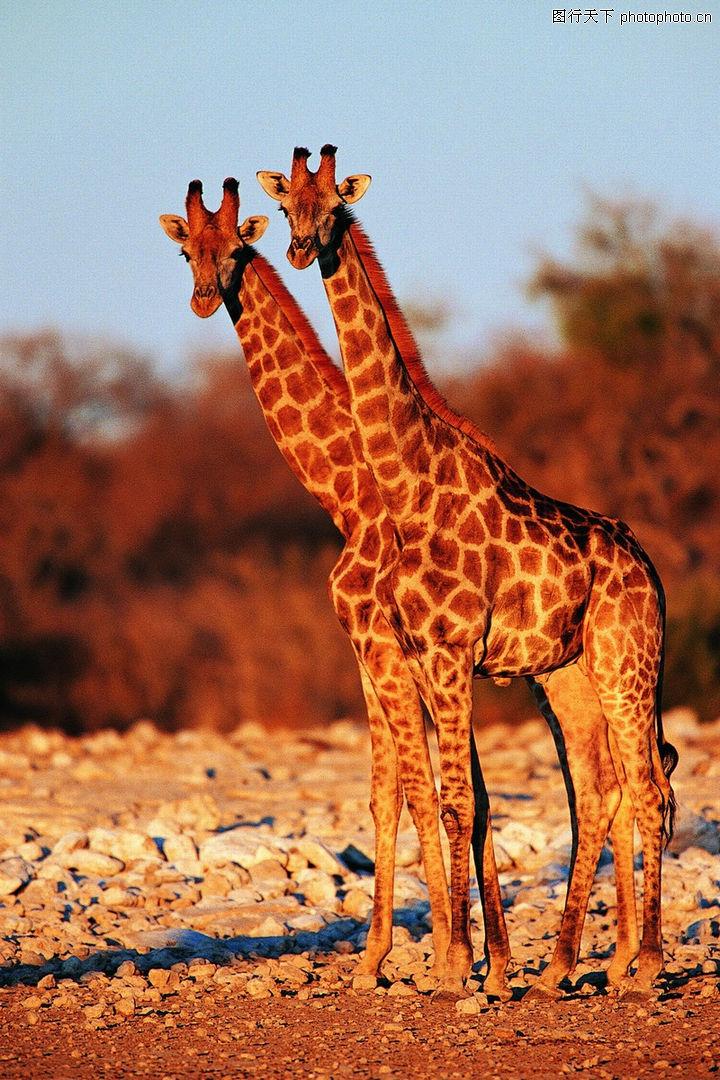 鹿之百态,动物,长颈鹿 体形 花纹,鹿之百态0063