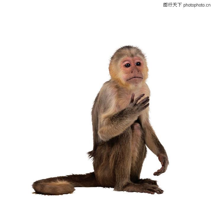 动物,猴子 长尾巴