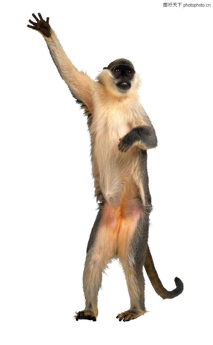 猴也疯狂,动物,站直 举着一只手 跟看前方,猴也疯狂0110