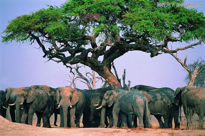 大象王国,动物,大树冠 乘凉 象群,大象王国0005
