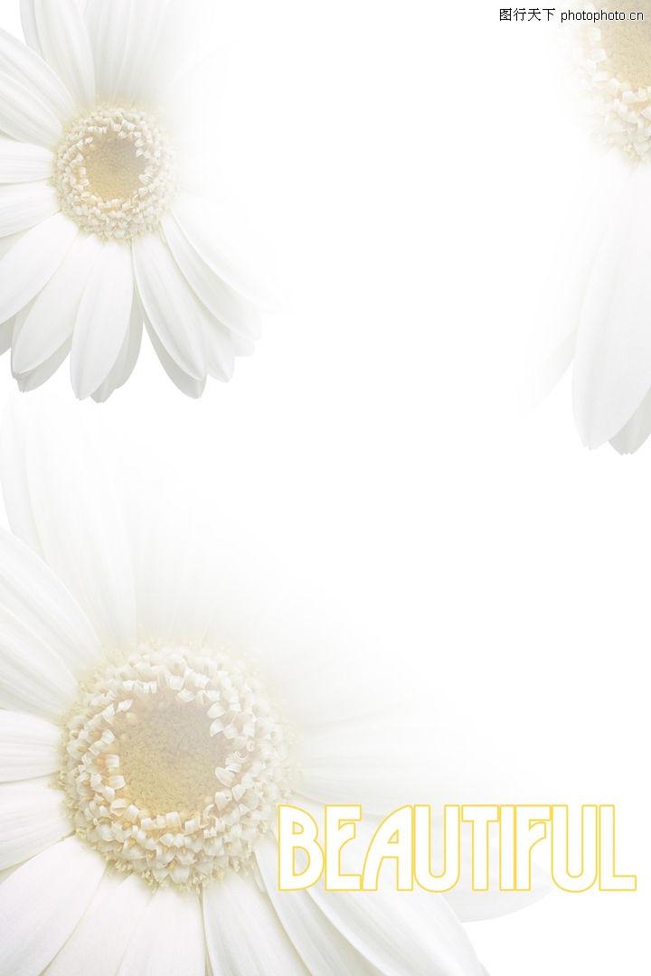 浪漫背景,婚纱摄影,菊花