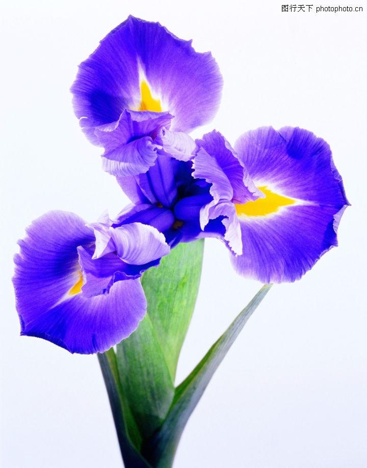 花之写真,自然风景,牵牛花 紫色 喇叭花,花之写真0119