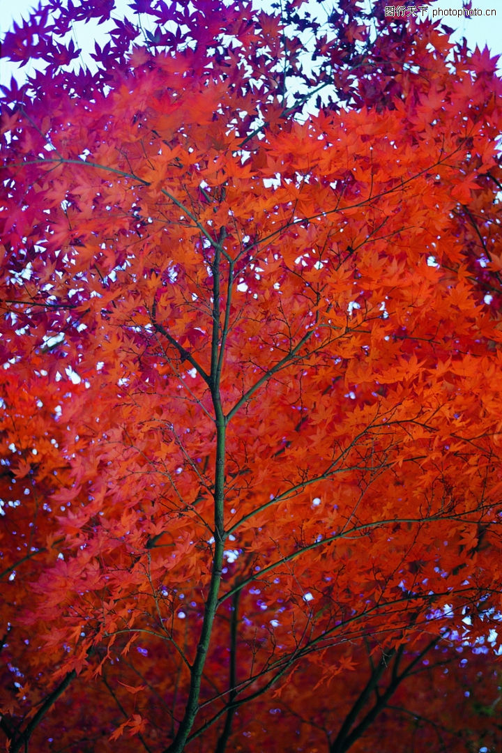 秋天景色,自然风景,秋叶 红枫,秋天景色0221
