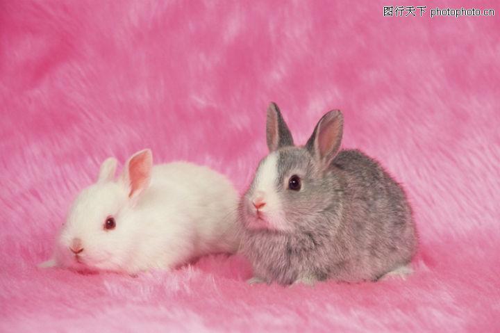 可爱小动物,动物,小白兔