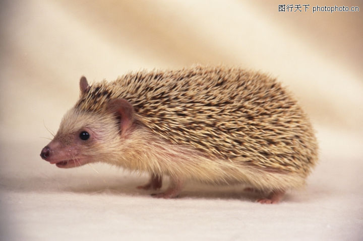 可爱小动物,动物,刺猬