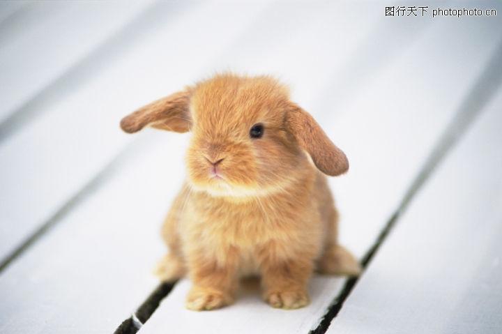 可爱小动物,动物,灰兔 耳朵 小嘴,可爱小动物0062
