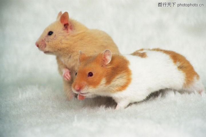 可爱小动物 动物 白色 毛皮 老鼠