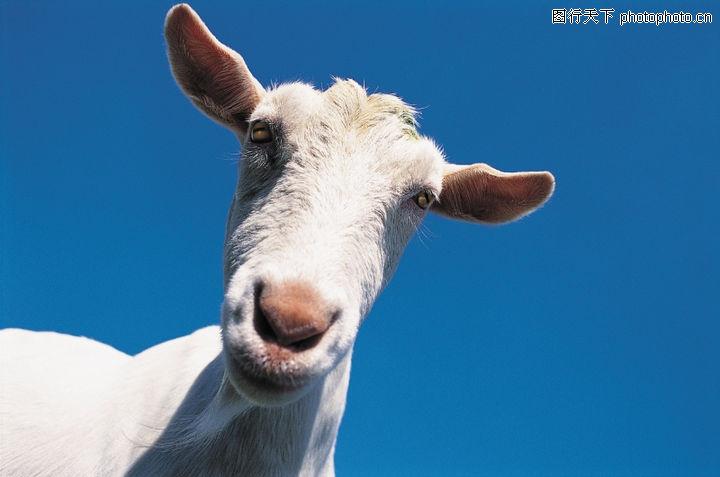 动物,山羊 红色 鼻子