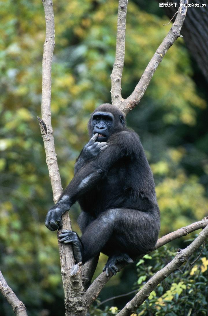 猿科动物,动物,猿科动物 黑猩猩 爬在树上,猿科动物0051