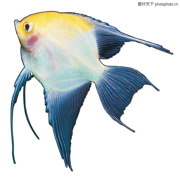 多彩鱼,动物,三角形体态 黄色鳞片 小尖嘴,多彩鱼0104