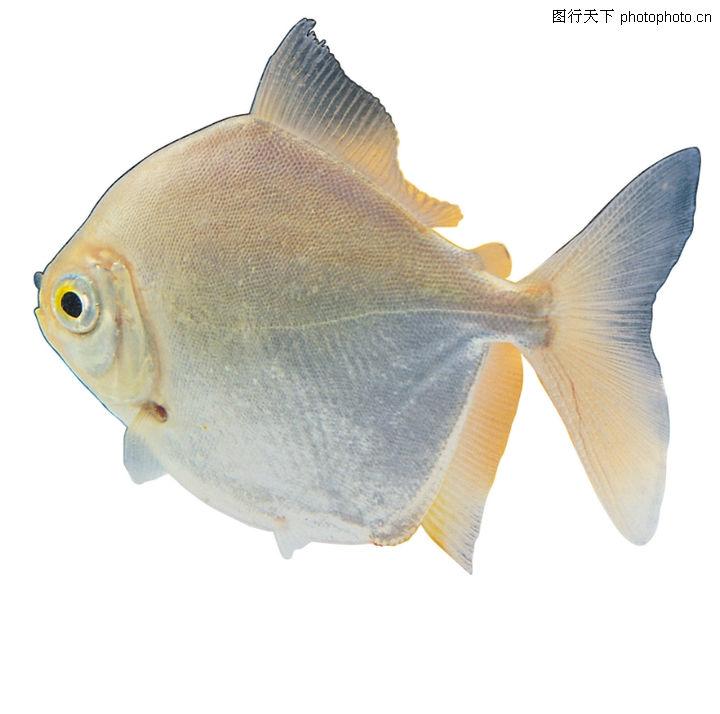多彩鱼,动物,椭圆形身体 三角形尾巴 浅黄色,多彩鱼0110