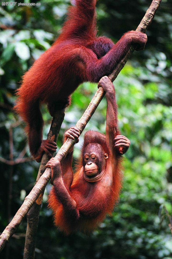 动物,红毛小猴子
