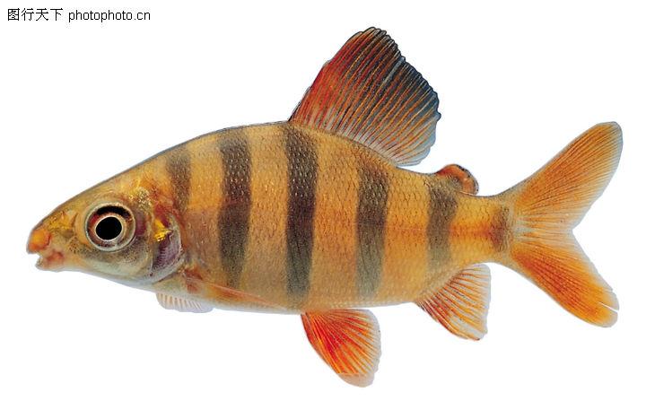 多彩鱼,动物,尖嘴鱼 深色条纹