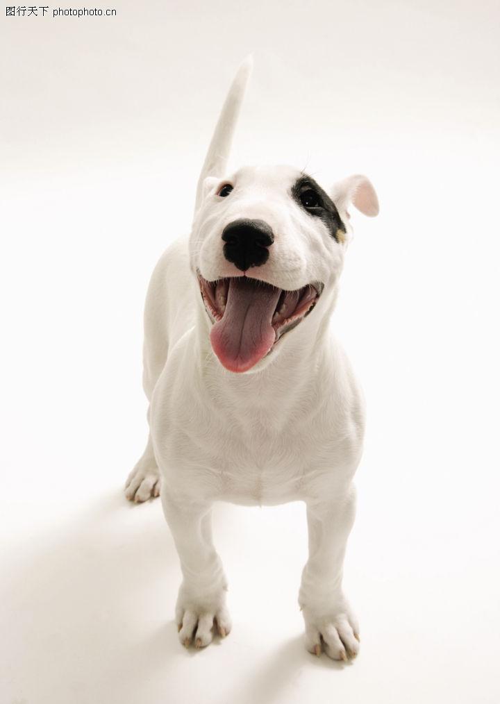 名贵犬 动物 竖起 尾巴 可爱