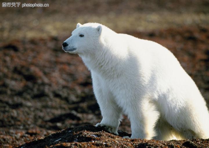 野生动物,动物,北极熊 白毛 熊头,野生动物0022