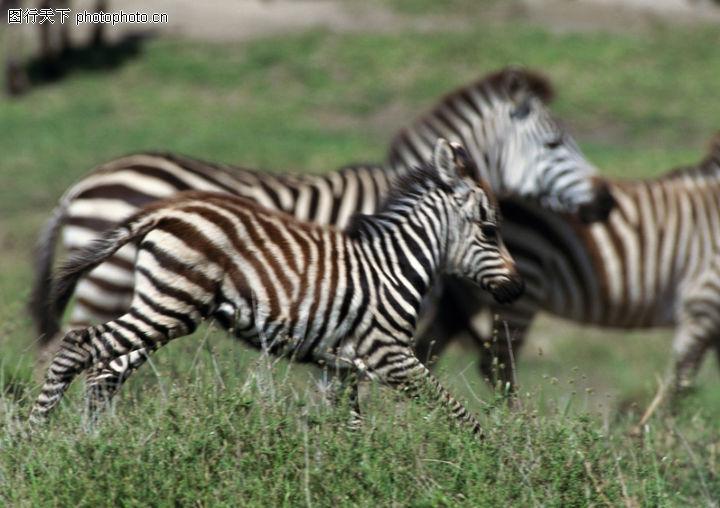 野生动物 动物 斑马 奔跑 草原