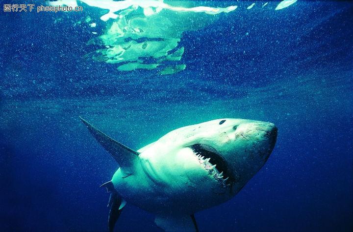 鲨鱼牙齿高清图片