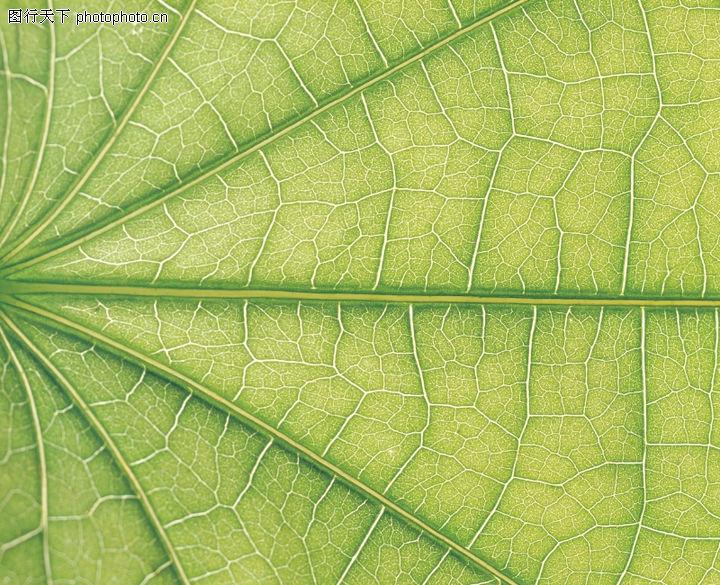 叶脉呈网状的结构图