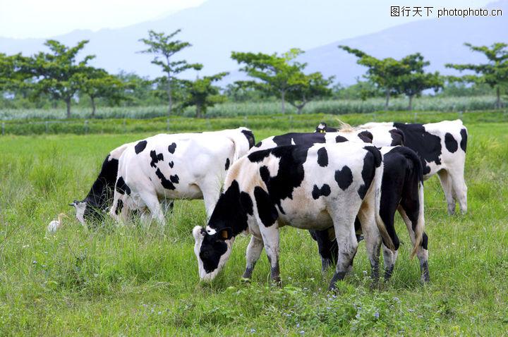 乳牛牧场0066