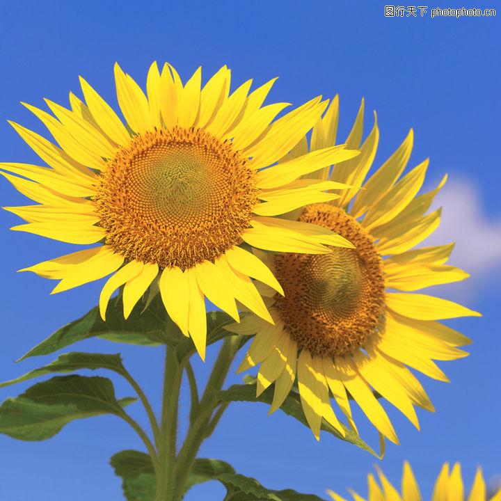 向日葵太阳花,植物,向阳 植物 花朵 绽放 灿烂 向日葵,向日葵太阳花0002