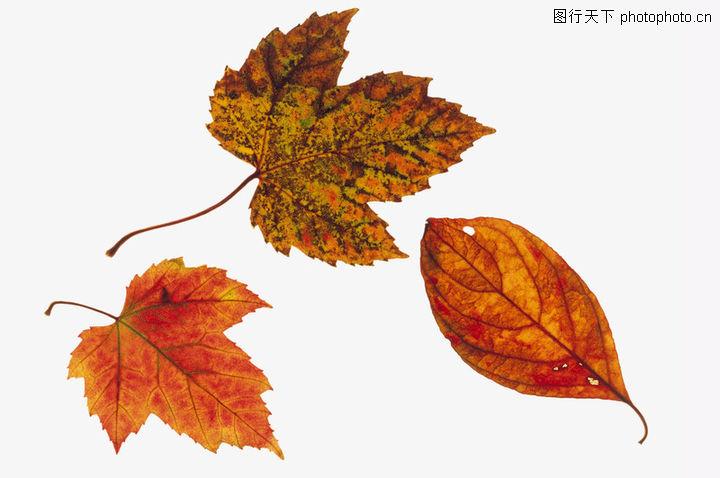 树叶,植物,树叶 形状 种类