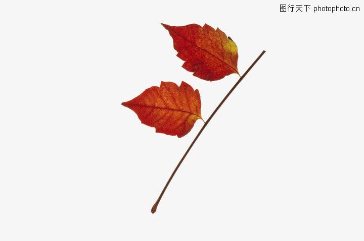 树叶,植物,简笔画 简单 克隆 并列 顽强 叶子 落叶 枫叶 红叶 凋零