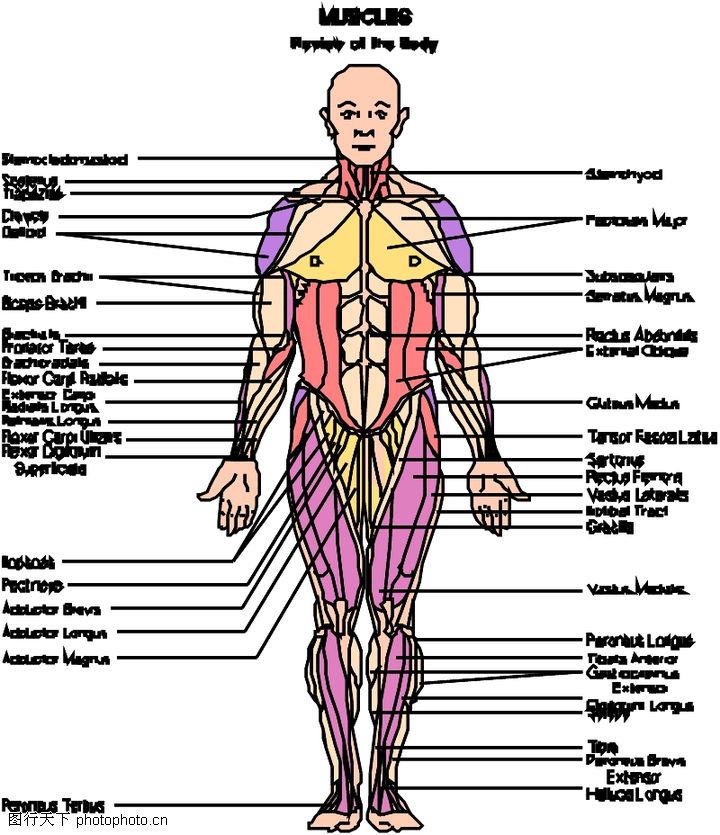 内脏器官图最新推荐:人内脏器官分布图-膨胀的胃挤压龟的内脏器官图片