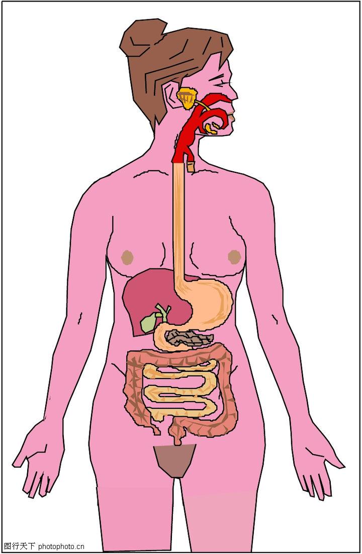 矢量图库 身体器官