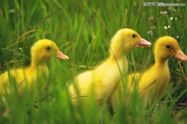 可爱小动物0171-可爱小动物图-动物图库-青草地 黄