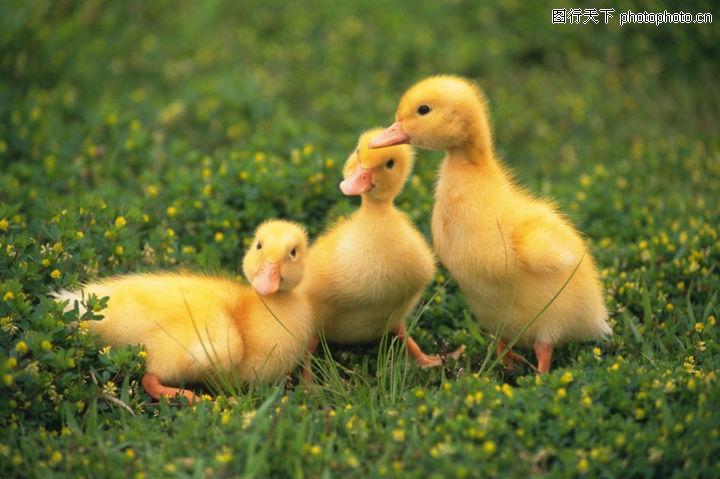 可爱小动物,动物,三只小鸭子