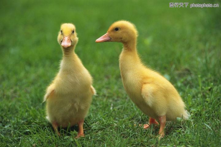 可爱小动物,动物,半大小鸭 瘪嘴巴 黑眼珠,可爱小动物0178