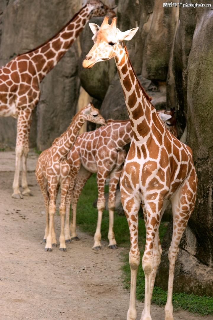 动物表情特写,动物,几只长颈鹿