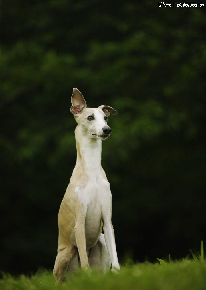 宝贝狗狗,动物,宝贝狗狗 竖直耳朵 坐立,宝贝狗狗0171