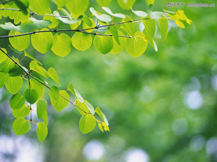 绿叶,风景系列,樟树 叶子 叶片,绿叶0023