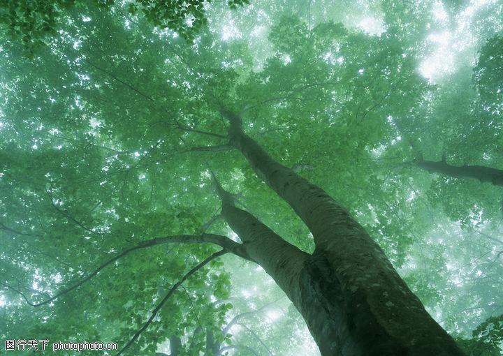 苍天大树的简笔画